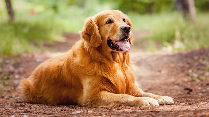 Golden dog - The most beautiful dog breeds |  The most beautiful dog in the world