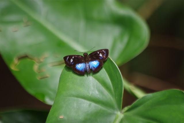 Pythonides jovianus crameri (Mabille & Boullet, 1917). Cupiagua, 720 m (Casanare, Colombie), 5 novembre 2015. Photo : J.-M. Gayman