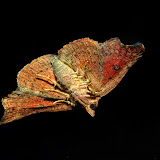 Noctuidae : Acontiinae : probablement Sophta poecilota TURNER, 1908, verso. Umina Beach (NSW, Australie), 26 avril 2011. Photo : Barbara Kedzierski