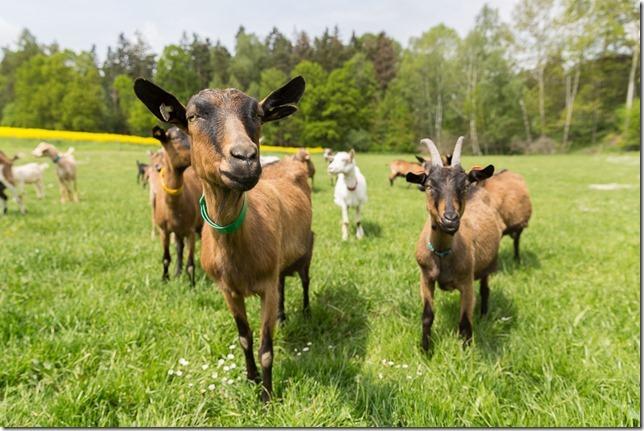 Kozí farma Jakubka