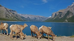 Big Horn Sheep at Lake Minnewanka