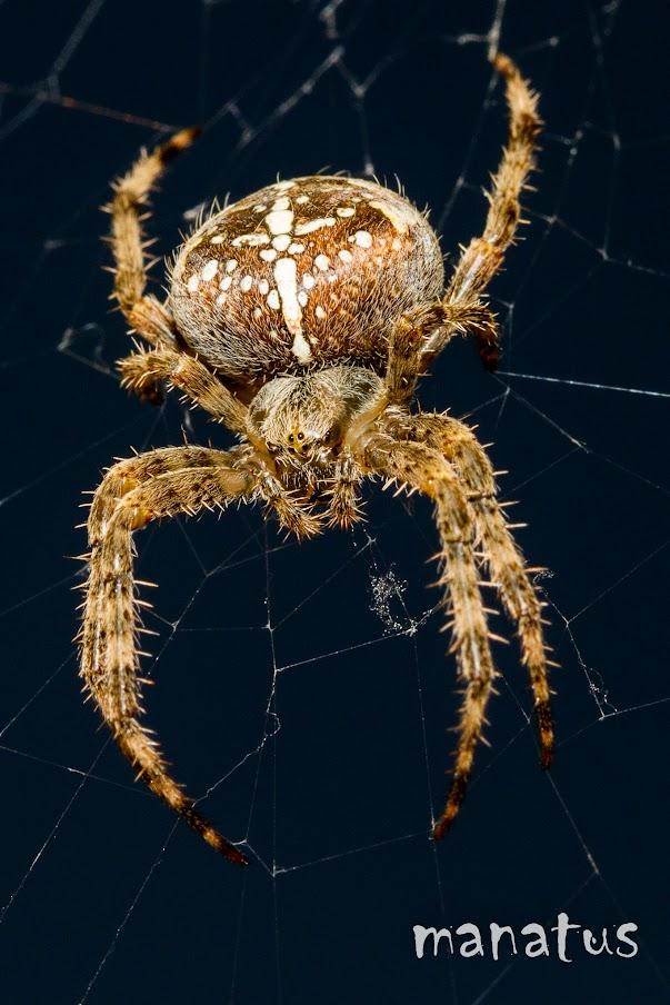 manatus foto blog araña cruz de santiago