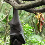 Bat at Singapore Zoo