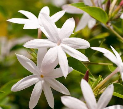 Jai Flower information in marathi