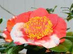 紅色地 白斑入り 一重 平開咲き 花糸は黄白色 梅芯 大輪