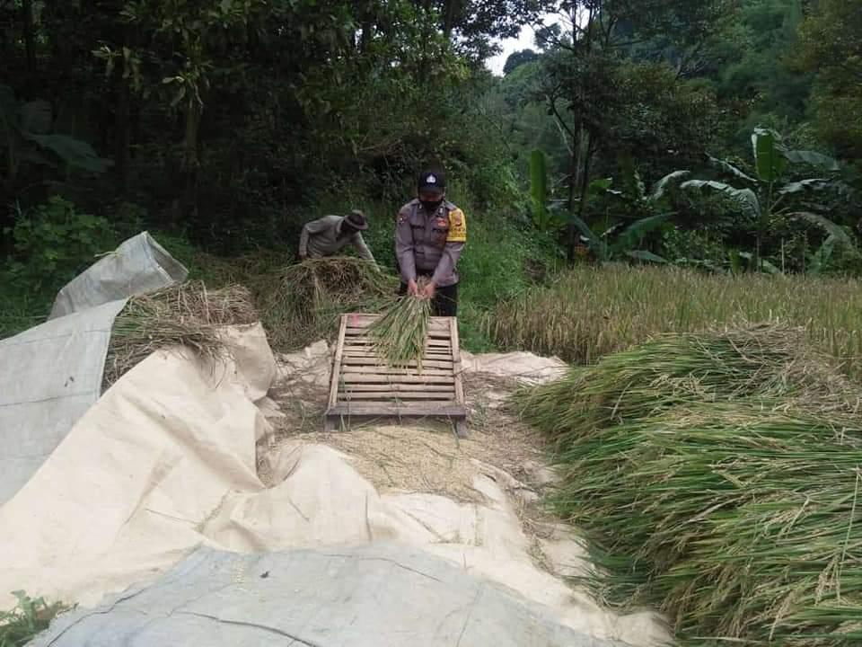 Personel Polsek Sindangwangi Bantu Petani Panen Padi di Desa Padaherang