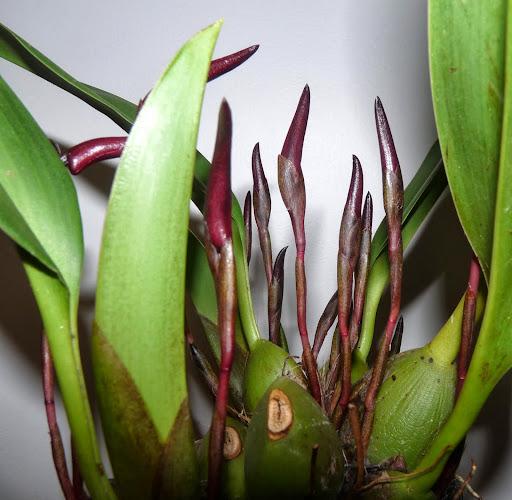 Maxillaria calantha P1370054