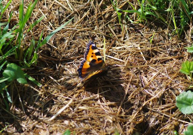 Aglais urticae (Linnaeus, 1758). Les Hautes-Lisières (Rouvres, 28), 6 juin 2015. Photo : J.-M. Gayman