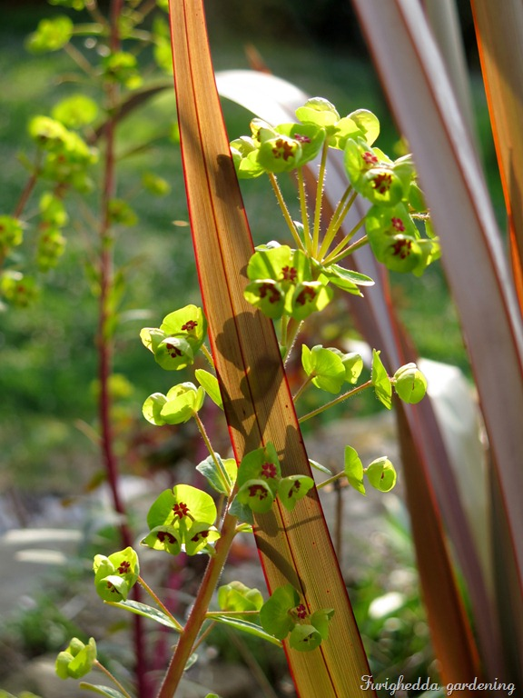 euphorbia martinii phormium