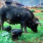 AG01 Mother Pig & Piglets.jpg