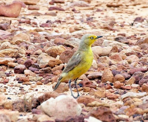Gibberbird (c) H Kieskamp.