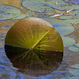 lillypad_MG_9905-copy.jpg