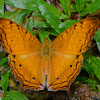 Common Cruiser Butterfly