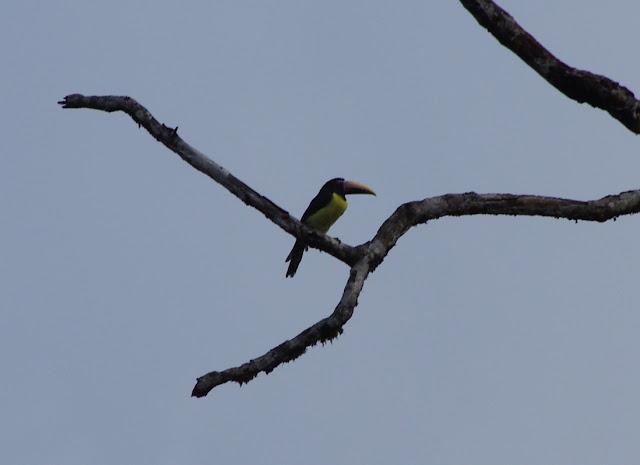Toucan grigri (Pteroglossus aracari). Pointe Maripa (Riv. Comté), 9 novembre 2012. Photo : J.-M. Gayman