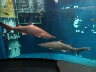 2016.05.01-036 requins