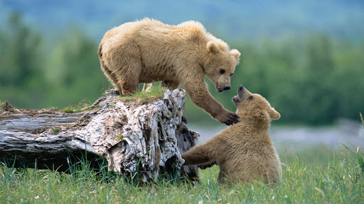 Grizzly Siblings at Play.jpg