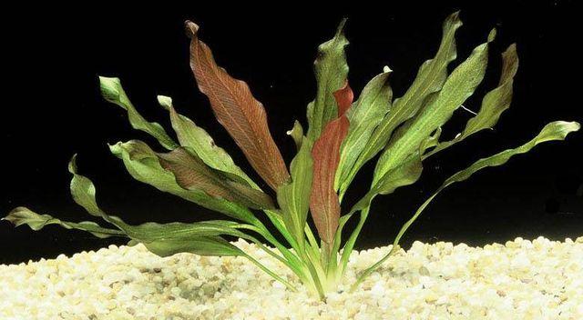Эхинодорус Индийский Красный (Echinodorus cv. Indian Red)