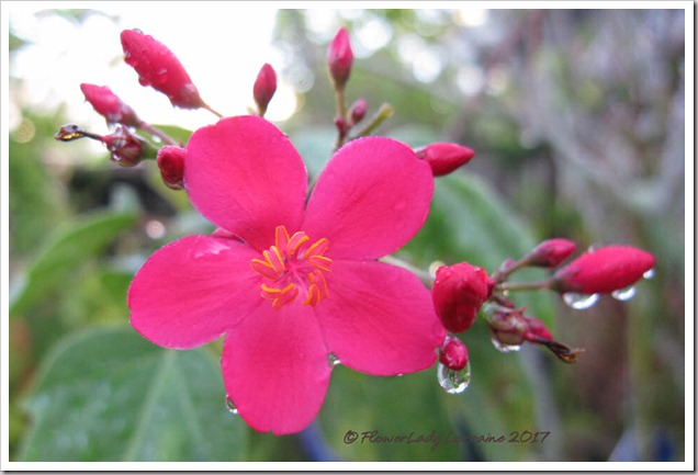 06-17-spicy-jatropha