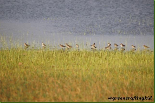 Snipe flock