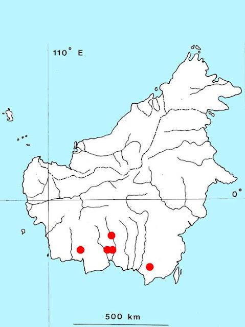 Криптокорина Гриффита (Cryptocoryne griffithii)