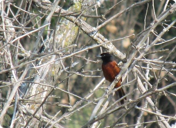 IMG_8317 Orchard Oriole Bird (2)