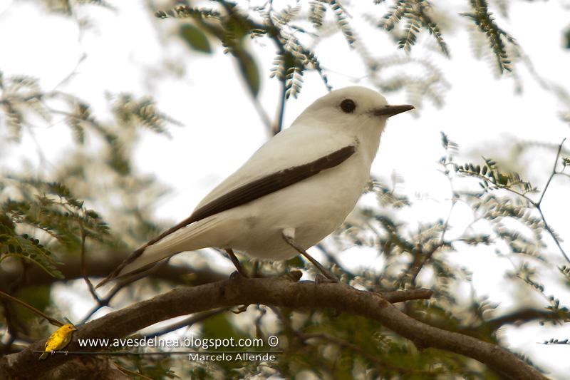 Monjita blanca (White monjita)