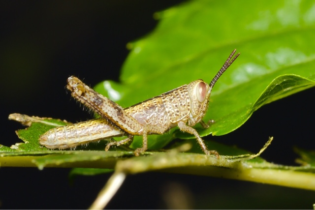 Macro photo - Grasshopper