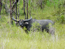 wildlife-water-buffalo-3.jpg
