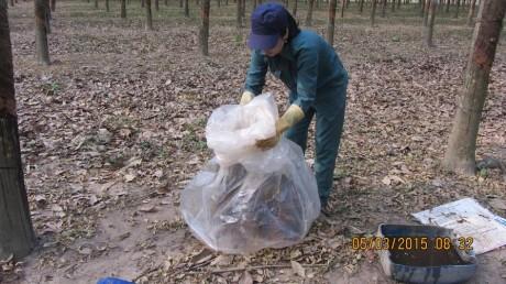 CN Nguyễn Thị Mỹ Dung bỏ chén sau khi nhúng amoniac vào bịch ny lông để ủ