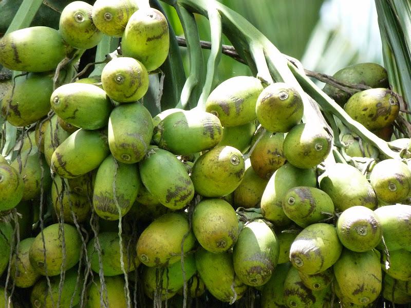 Bin lang, noix d arac