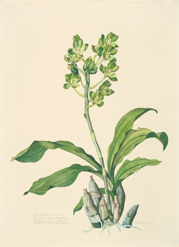 catasetum trulla var trilobatum