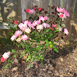 Gardening 2015 - 116_7630.JPG