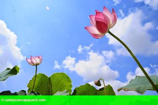 Hình 5: Hà Nội rực rỡ mùa hoa sen