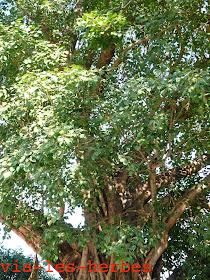 arbre sacré, Ficus, famille Moracées.jpg