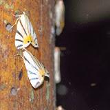 Crambidae : Dichogama (Carbaca) prognealis (DRUCE, 1895). Los Cedros, 1400 m, Montagnes de Toisan, Cordillère de La Plata (Imbabura, Équateur), 18 novembre 2013. Photo : J.-M. Gayman