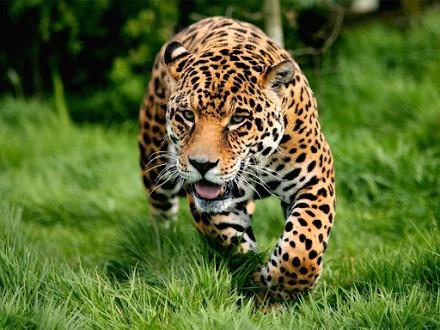 Τρεις λεοπαρδάλεις ξέφυγαν από ζωολογικό κήπο της Κίνας, αλλά το συμβάν ανακοινώθηκε μετά από μια εβδομάδα