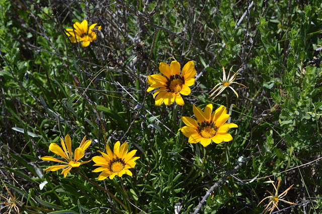 varigated daisies of yellow with red-brown at the base