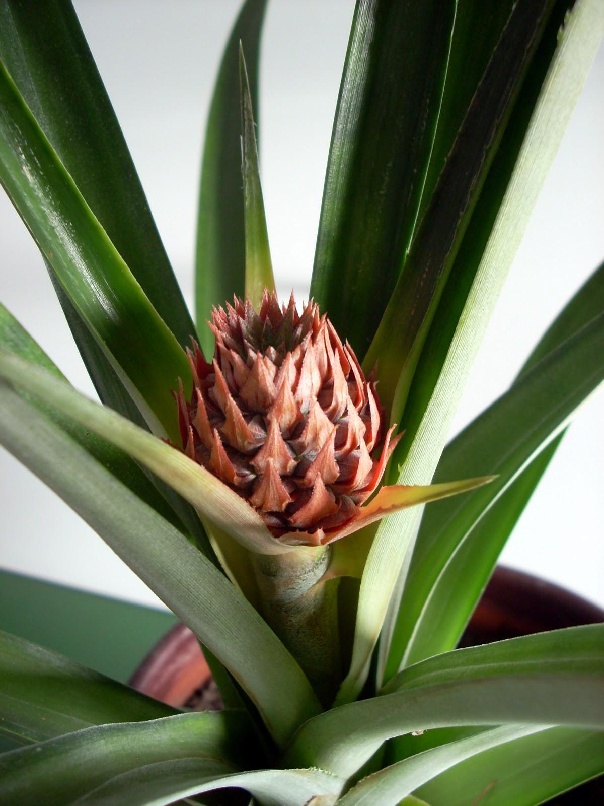 Pineapple Plant Tutorial Basilicusjones