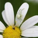 Thomisidae : Misumena vatia (CLERCK, 1757) et sa proie. Les Hautes-Lisières (Rouvres, 28), 14 juin 2012. Photo : J.-M. Gayman