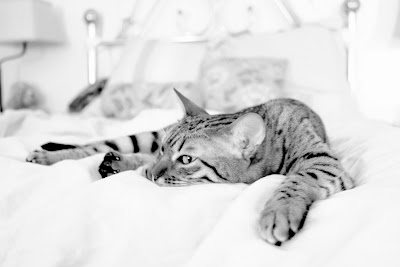 Penny the Bengal Cat on Bed