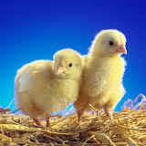 chicks-wallpaper.jpg