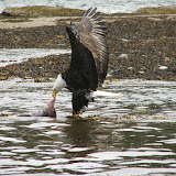 Bald Eagle (by Karin Laine)