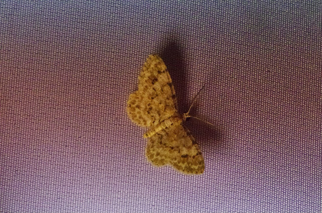 Larentiinae : Eois undulata (?). Mount Totumas, 1900 m (Chiriquí, Panamá), 22 octobre 2014. Photo : J.-M. Gayman