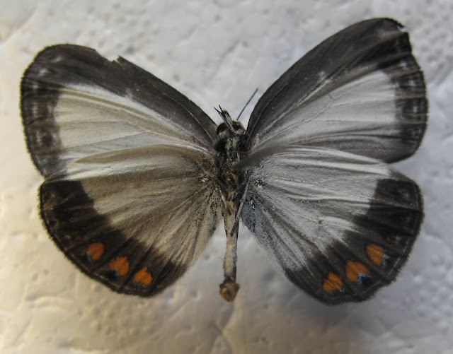 Epimastidia mastrigti SCHROEDER, 2010, verso. Capturé le 16 août 2009 à Air Garam (Kurulu, Yiwika, 1600-1800 m), Baliem Valley, Papua. Photo : J. Marquet