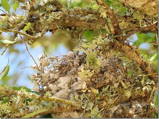 Scissortailed_nest