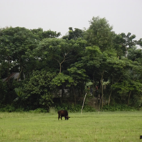Cattle on the bank of Bangshi