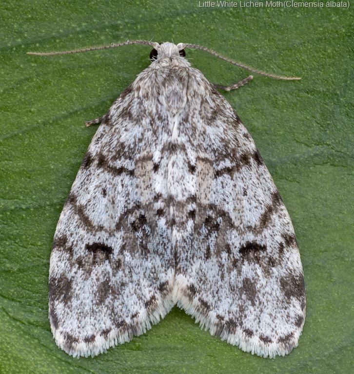 [Little-White-Lichen-Moth-%28Clemensia-albata%29%5B9%5D]