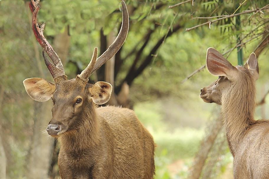 Vandalur Zoo - Sambar Deer