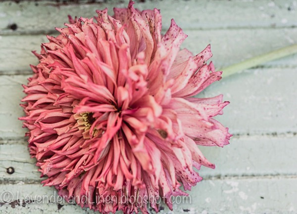 faded pink zennia