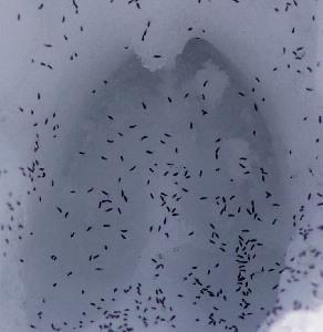 Snow fleas  (springtails)